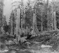 Donner tree stumps2.tif