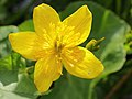 Dotterbloem (Caltha palustris subsp. palustris).JPG