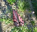 Dracunculus vulgaris 4.jpg