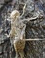 Dragonfly Nymph Case (7064285549).jpg