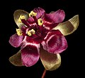 Drosera microphylla - Flickr - Kevin Thiele.jpg