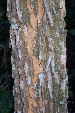 Duboisia myoporoides - Duboisia myoporoides bark at Wyrrabalong National Park, Australia