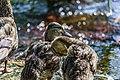 Duck (42393099720).jpg