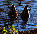 Duck Tails (6296460211).jpg