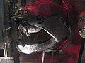 Dunkleosteus (5642753725).jpg
