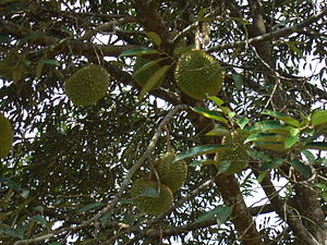 Durians on a tree.jpg