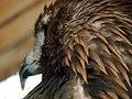 Eagle عقاب 10.jpg