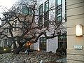 Earl Warren Hall Mongolian Oak.jpg
