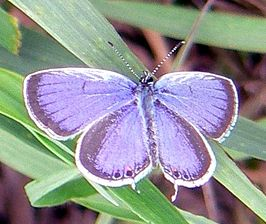 Eastern-tailed blue butterfly.jpg