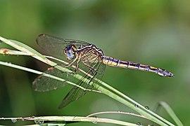 Eastern blacktail (Nesciothemis farinosa) female.jpg