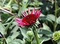 Echinacea Twilight 10zz.jpg