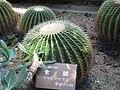 Echinocactus grusonii1.jpg
