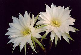 Echinopsis subdenudata - flowers.jpg