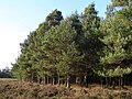 Edge of pines on Church Moor, New Forest - geograph.org.uk - 288138.jpg
