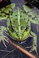 Edible Frog - Rana esculenta - panoramio (7).jpg