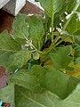 Eggplant Brinjal.jpg