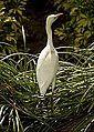 Egret at Jupiter, FL.jpg