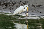 Egret eating a Crab (7315923742).jpg