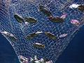 Eier eines Epaulettenhais.jpg