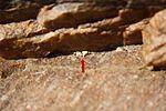 Eine mikroskopisch kleine Flechte in einer Gesteinsritze (24162902873).jpg