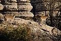 El Torcal de Antequera - 012 - Wild goats.jpg