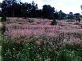 El campo rosado - panoramio.jpg