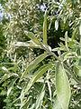 Elaeagnus angustifolia 20050608 855.jpg
