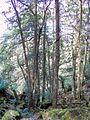 Elaeocarpus holopetalus 25 m tall Mount Imlay.jpg