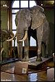 Elephant (15712900432).jpg