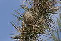 Emberiza calandra - Corn Bunting 01.jpg