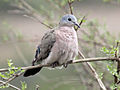 Emerald-spotted Wood Dove RWD4.jpg
