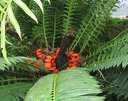Encephalartos lebomboensis - Lebombo cycad - desc-fruiting stalk.jpg