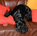 English Cocker Spaniel 4 Jul 2004 A.jpg