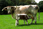English Longhorn cow and calf.jpg