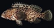 Epinephelus quoyanus