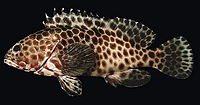 Epinephelus quoyanus.jpg