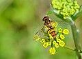 Episyrphus balteatus qtl2.jpg