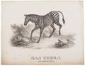 Equus zebra - 1700-1880 - Print - Iconographia Zoologica - Special Collections University of Amsterdam - UBA01 IZ21700081.tif