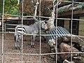 Equus zebra hartmannae Yumemigasaki Zoo P9270214.jpg