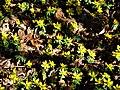 Eranthis hyémalis. Helléborines du Landsberg. (1).jpg