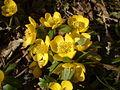 Eranthis hyemalis flowers.jpg