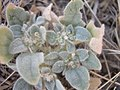 Eremocarpus setigerus-8-10-05.jpg