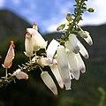 Erica baueri at Kirstenbosch (36569102485).jpg