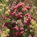 Erica haematocodon at Kirstenbosch. (36569102405).jpg