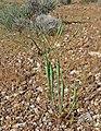 Eriogonum inflatum 2.jpg