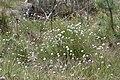 Eriophorum vaginatum kz16.jpg