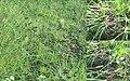 Eryngium ebracteatum.jpg