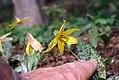 Erythronium americanum 12zz.jpg