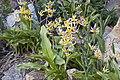 Erythronium pusaterii (Kaweah Lakes fawnlily) (6734524353).jpg