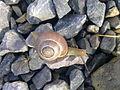 Escargot sur du gravier à Grez-Doiceau 002.jpg